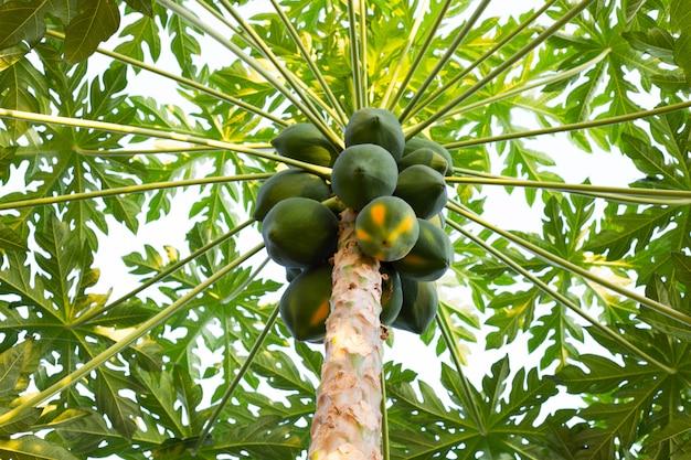 Papaye verte bio fraîche sur l'arbre