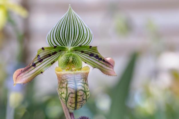 Paphiopedilum fleur d'orchidée dans le jardin.
