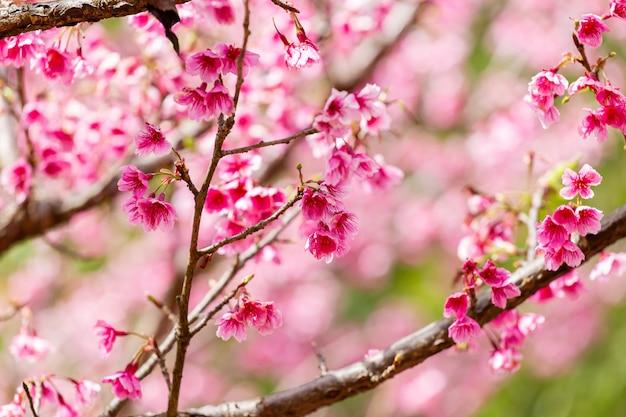 Papier peint fleurs de cerisier et sakura