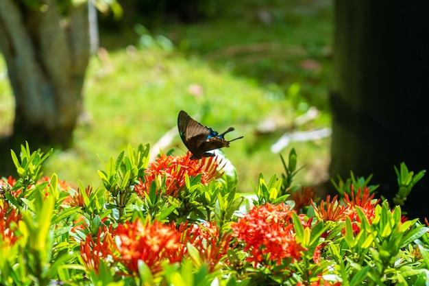 Papilio maackii, un papillon tropical incroyablement beau, pollinise les fleurs. le papillon noir-blanc boit du nectar de fleurs. couleurs et beauté de la nature