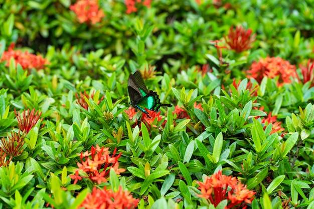 Papilio maackii, un papillon tropical incroyablement beau, pollinise les fleurs. le papillon noir-vert boit du nectar de fleurs. couleurs et beauté de la nature