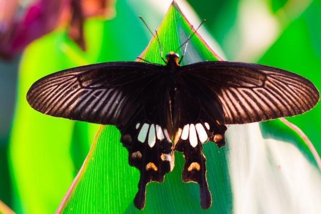 Papilio polytes également connu sous le nom de mormon commun se nourrissant de la plante à fleurs dans le parc public