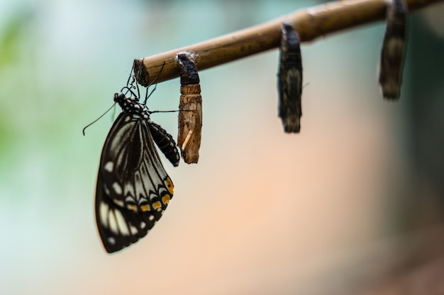 Papillon aile fermée près des cocons