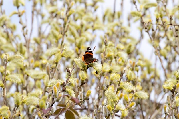 Papillon amiral, vanessa atalanta sur fleurs close up