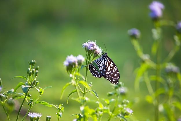 Papillon asclépiade à points bleus ou danainae ou papillon asclépiade se nourrissant des plantes à fleurs