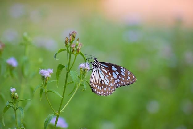 Papillon d'asclépiade à pois bleu