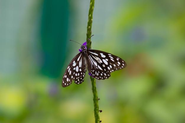 Papillon de l'asclépiade à taches bleues