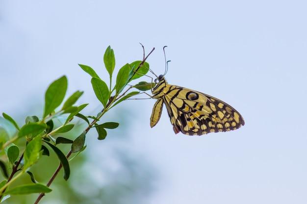 Papillon au citron vert