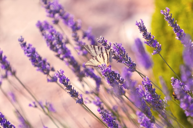 Papillon aux fleurs de lavande