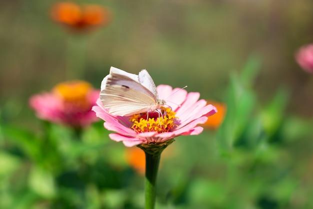 Papillon blanc sur une fleur de zinnia. beauté de la nature.