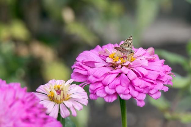Papillon bronze géranium (cacyreus marshalli) se nourrissant d'un zinnia elegans jacq. fleur rose en italie