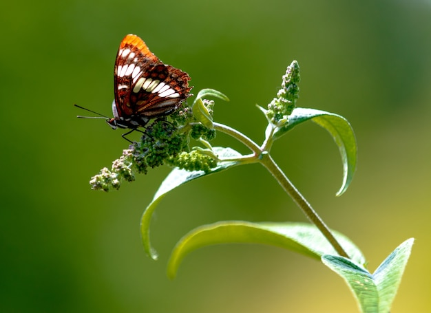 Papillon brun assis sur un bourgeon frais