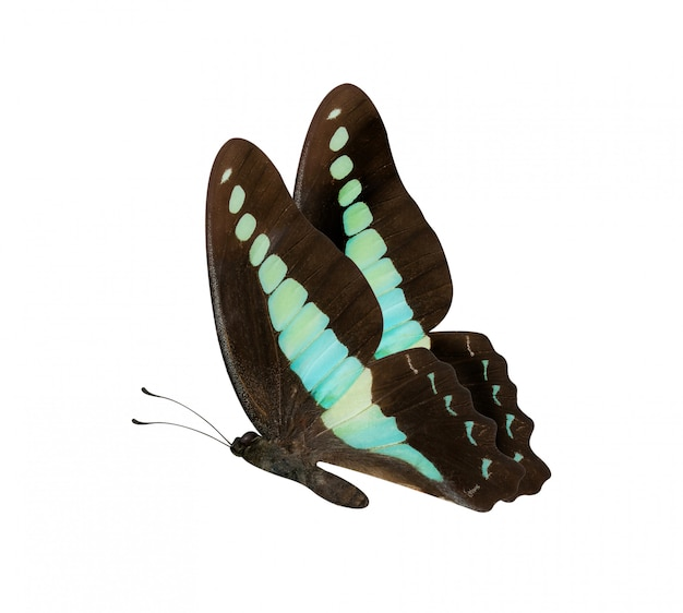 Papillon brun et bleu