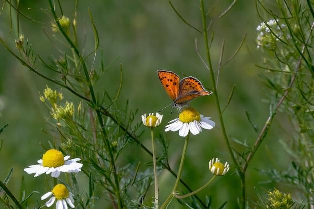 Papillon sur la camomille