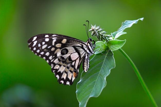 Papillon de chaux se reposant sur les usines pendant le printemps