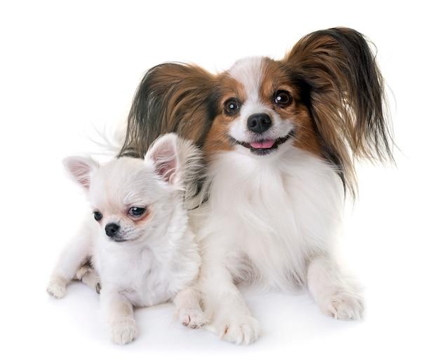 Papillon chien et chihuahua