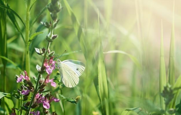 Papillon de chou blanc sur une branche verte avec des fleurs roses