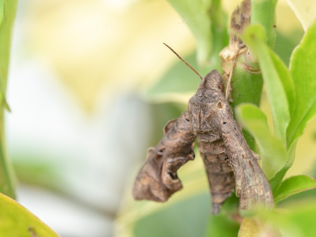 Le papillon chrysalide