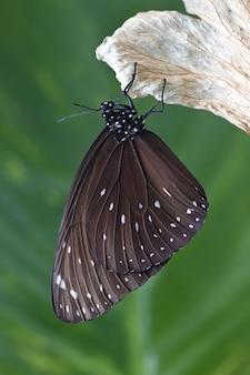 Papillon chrysalis suspendu à une feuille