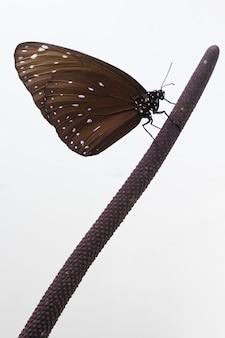 Papillon chrysalis suspendu à une fleur