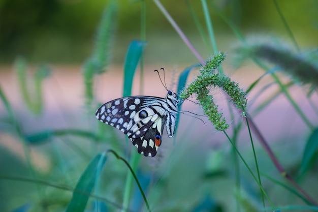 Papillon citron vert commun dans son habitat naturel