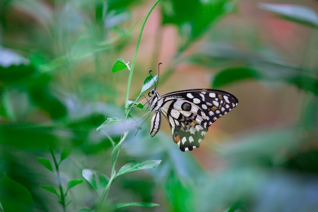 Le papillon citron vert