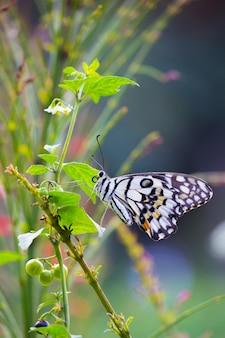 Papillon citron vert