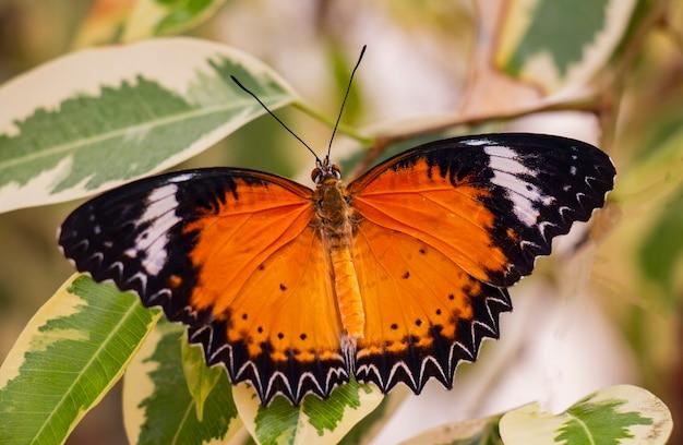 Papillon clipper aux ailes jaunes sur les feuilles vertes sous les tropiques