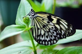 Papillon closeup belle