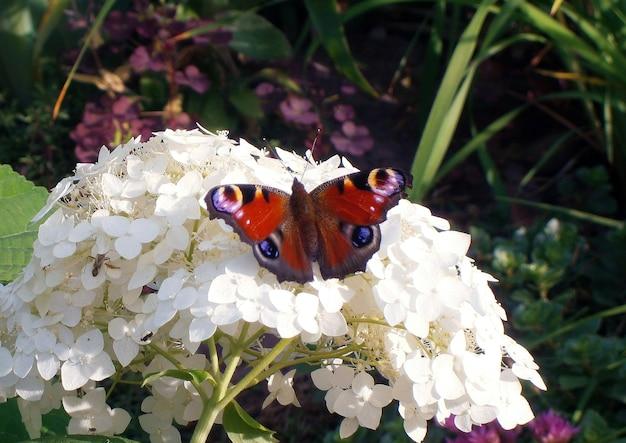Papillon coloré est assis sur une fleur blanche