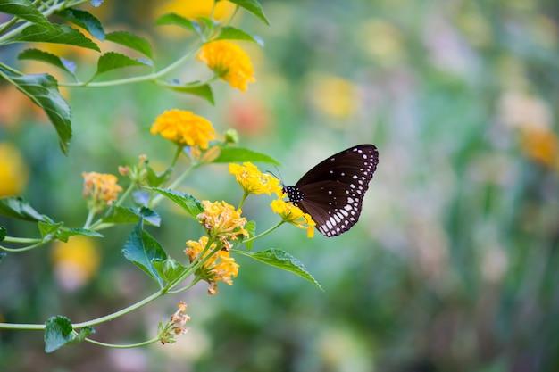 Papillon corbeau sur la fleur