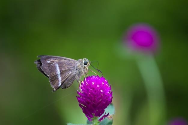 Le papillon corbeau