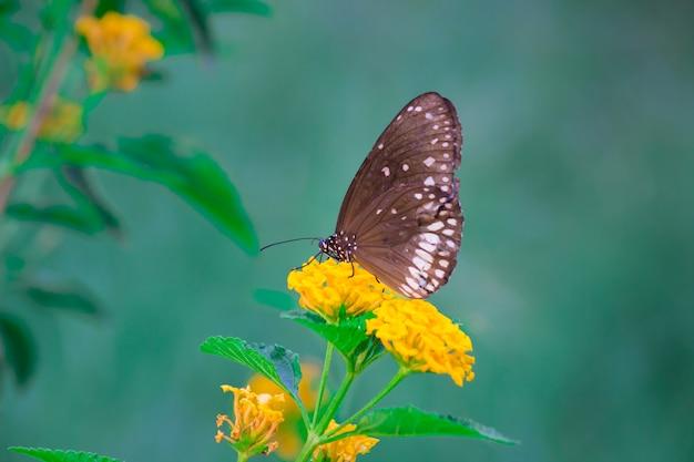 Papillon corbeau