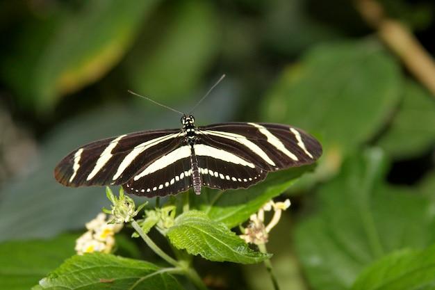Papillon dans la nature - heliconius charithonia