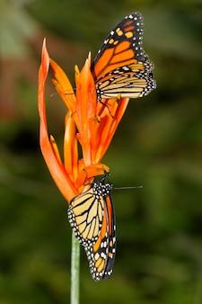 Papillon dans la nature - monarque - danaus plexippus