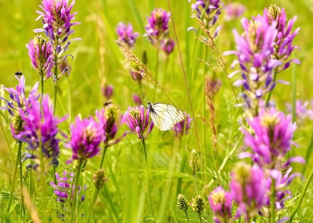 Papillon du chou assis sur un champ rose vif fleurs dans une herbe verte dense