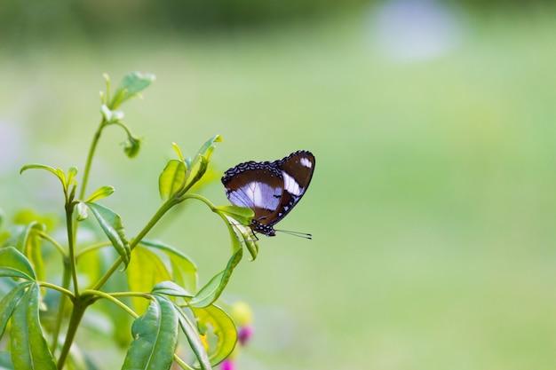 Le papillon eggfly