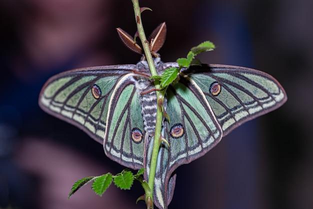 Papillon élisabéthain perché sur une branche
