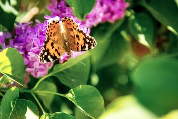 Papillon est assis sur un buisson de lilas en fleurs