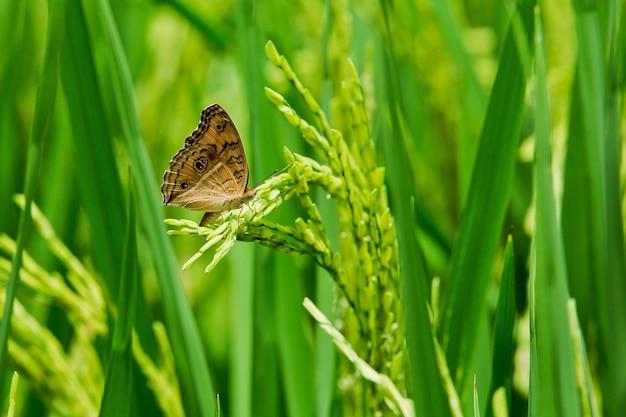 Papillon est assis sur un pic, le blé