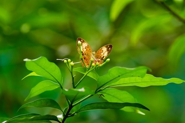 Papillon sur feuille, macro vie d'insectes dans la forêt tropicale humide. kuala lumpur, malaisie.