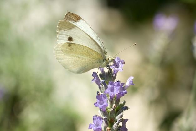 Papillon sur une fleur de lavande