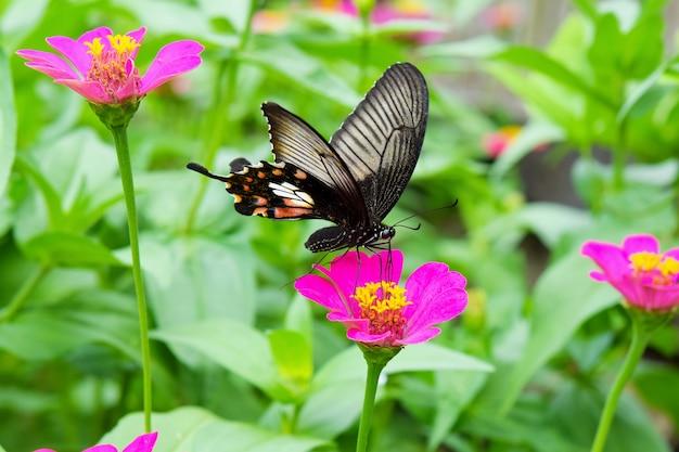 Papillon sur fleur de zinnia rose