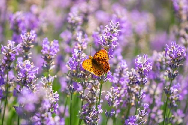 Papillon sur fleurs de lavande violette, gros plan de champ de lavande. la nature