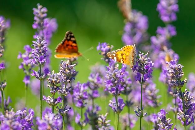 Papillon sur fleurs de lavande violette, gros plan de champ de lavande.