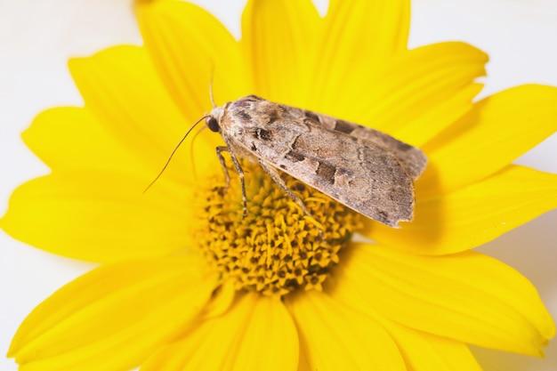 Papillon gris recueillant le pollen sur une fleur jaune.