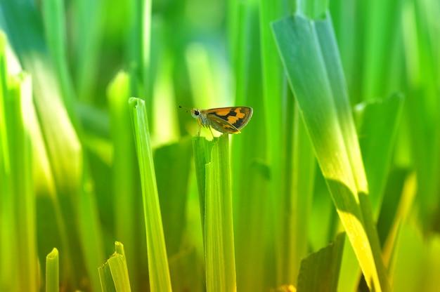 Papillon sur une herbe
