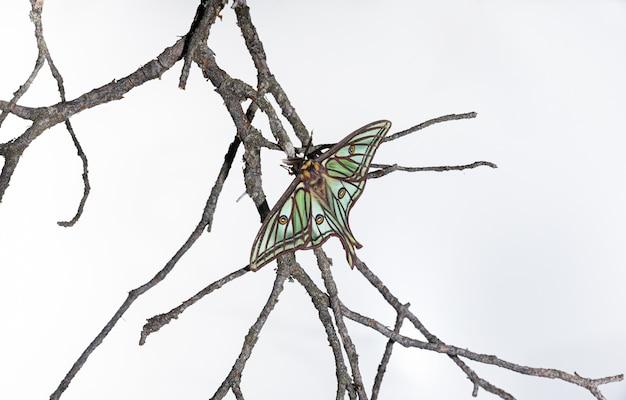 Papillon isabelina perché sur une branche