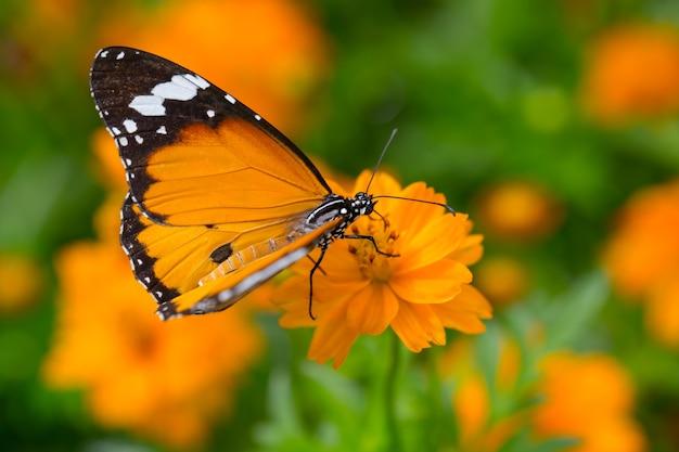 Papillon jaune attrape les fleurs jaunes de cosmos.