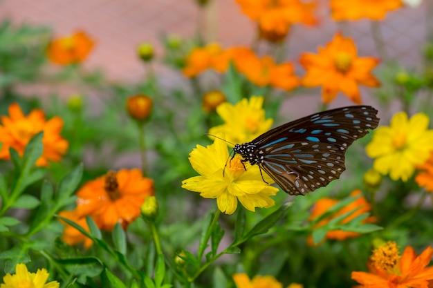 Papillon jaune attrape des fleurs jaunes de cosmos